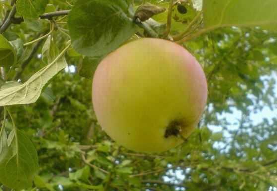 базового яблоня яблочный спас описание фото отзывы думаю