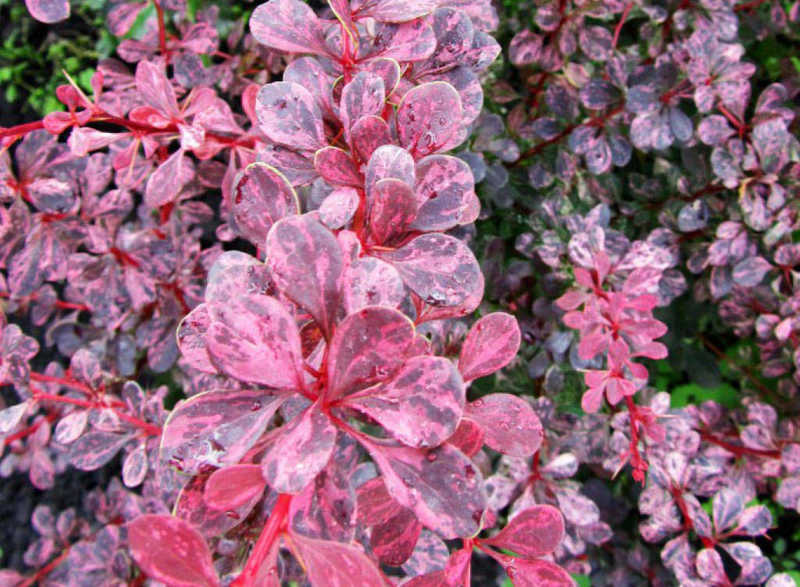 Барбарис тунберга Пинк Куин (Berberis thunbergii Pink Queen)